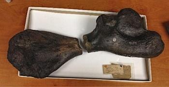 160年ぶり一致のウミガメ化石.jpg