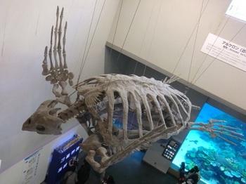 7000万年前の化石-アーケロン.jpg